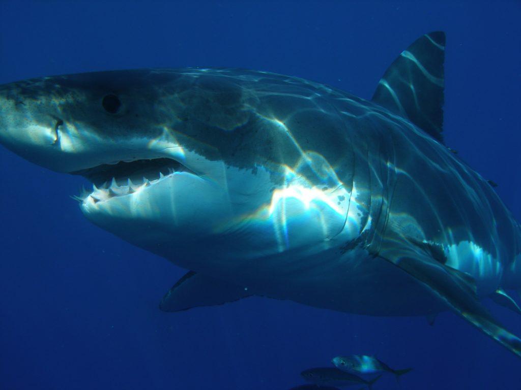 Welche Haie greifen Menschen an auf blog-kade.de